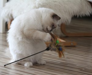 Liprima's Lovis Lasse Katzenbeschäftigung auf eigene Art